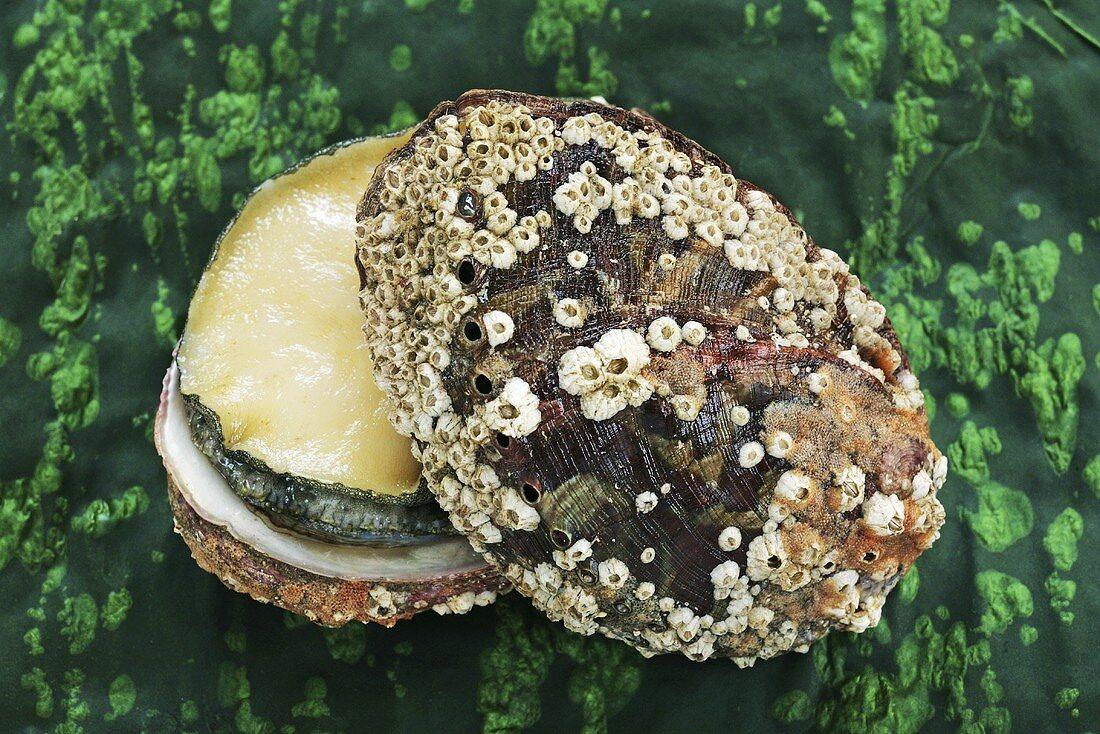 Fresh abalone