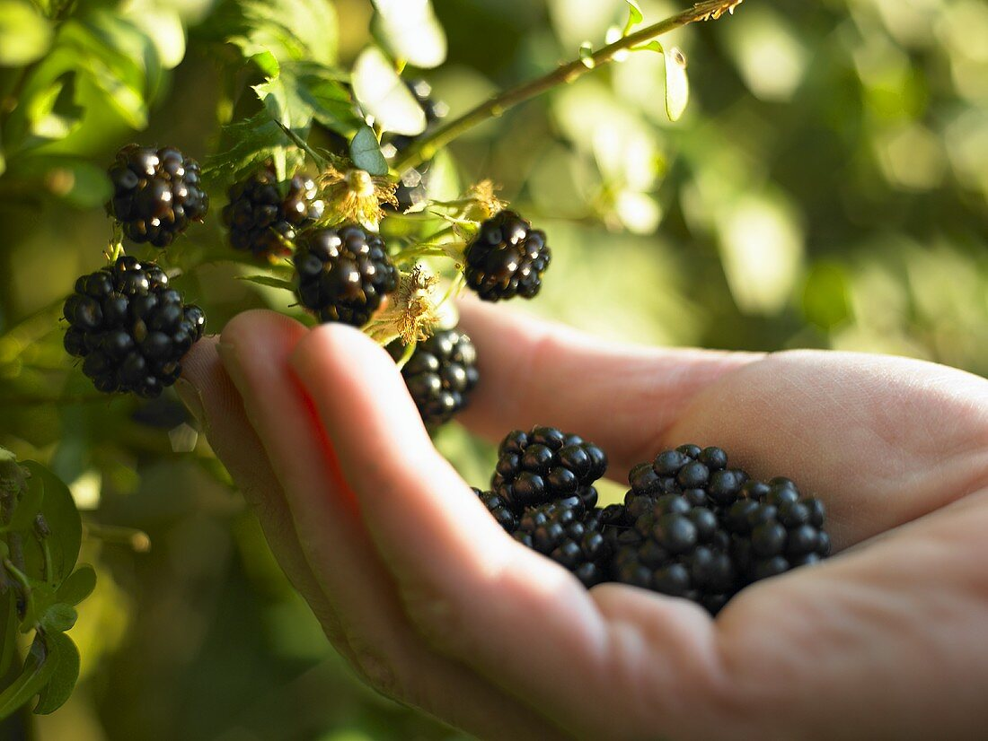 Hand picking blackberries