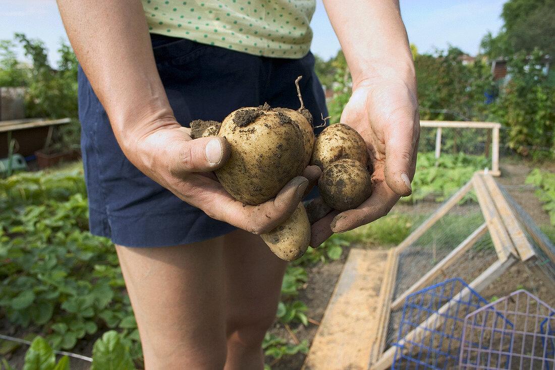 Hands holding Maris Piper potatoes in a garden