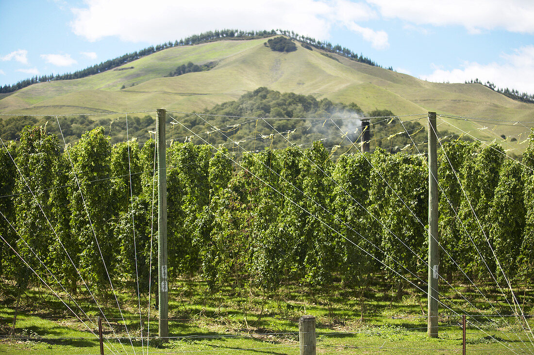Rows of hops in New Zealand