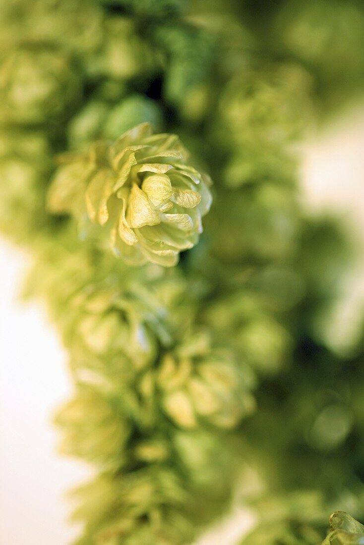 Several dried hop flowers