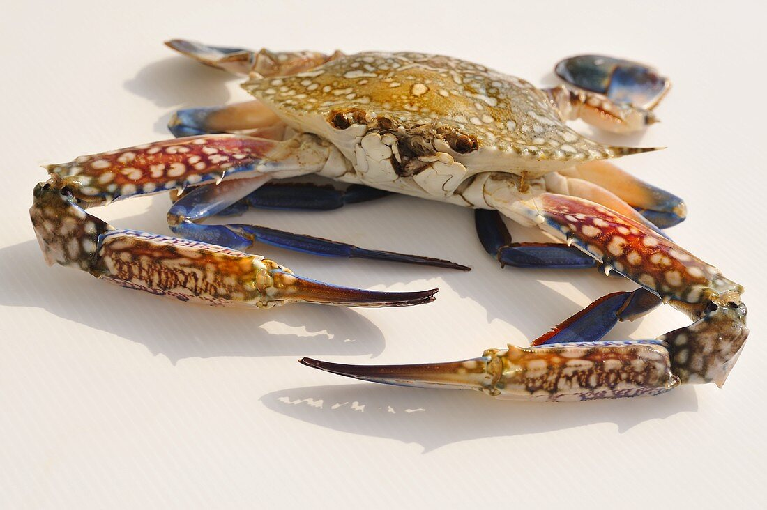 Blue crab from Thailand