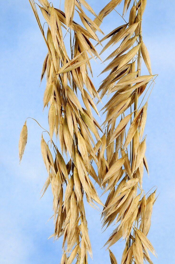 Abyssinian oat (Avena abyssinica)