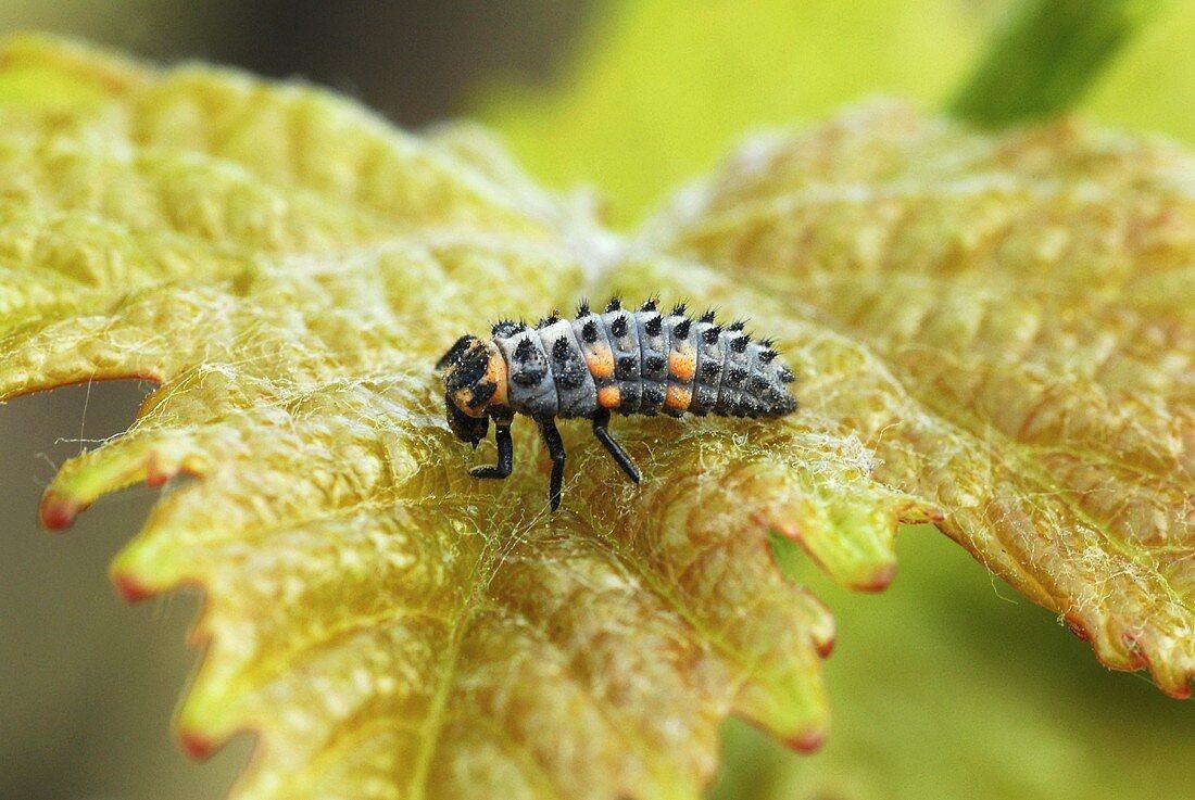 Ladybird larva on a vine leaf