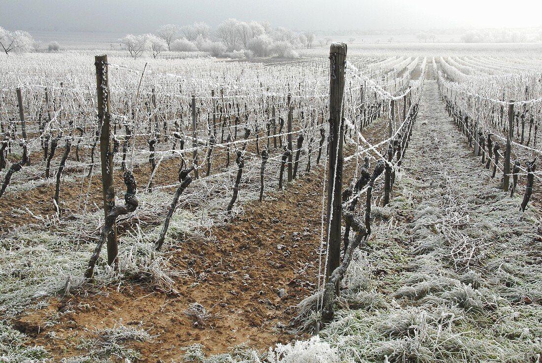 Hoar frost in a vineyard near Bad Dürkheim, Palatinate, Germany