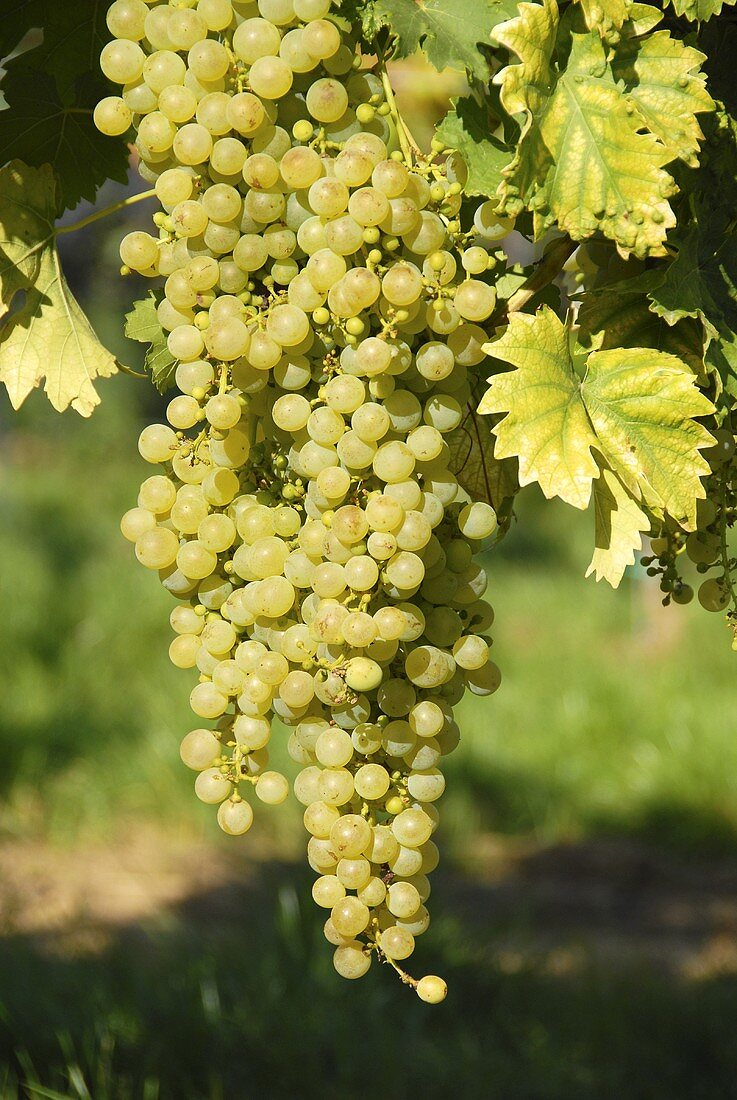 White table grapes, Palatinate, Germany