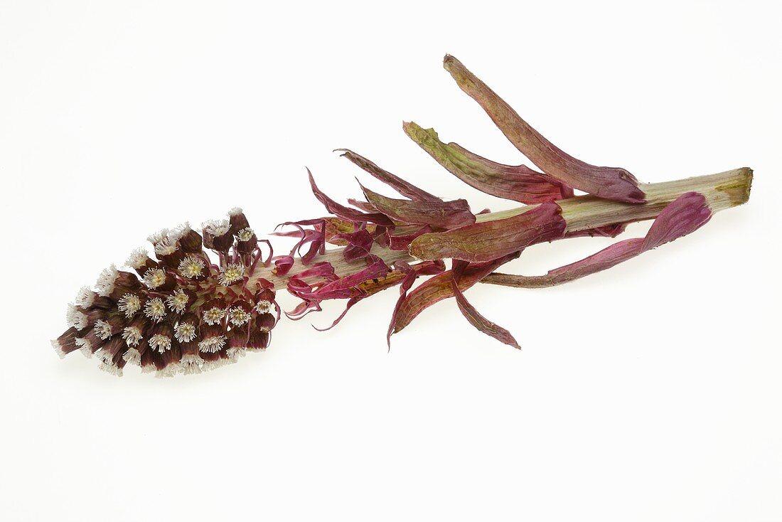 Butterbur flower 300851