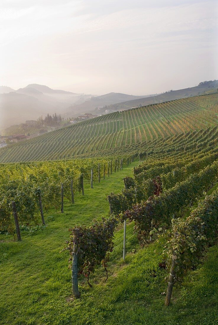 Wineyards near Barolo, Piedmont, Italy