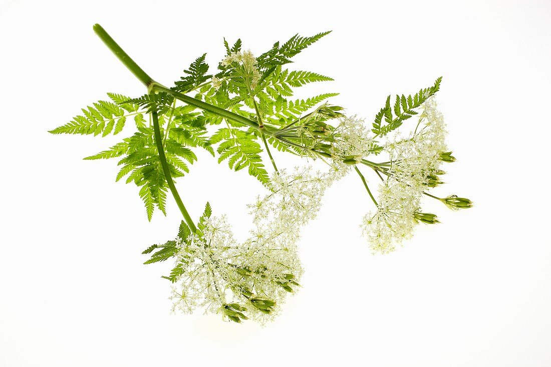 Sweet cicely flowers