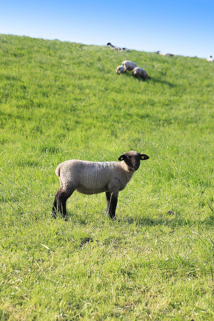 Sheep in pasture, Weser Marsh, North Germany
