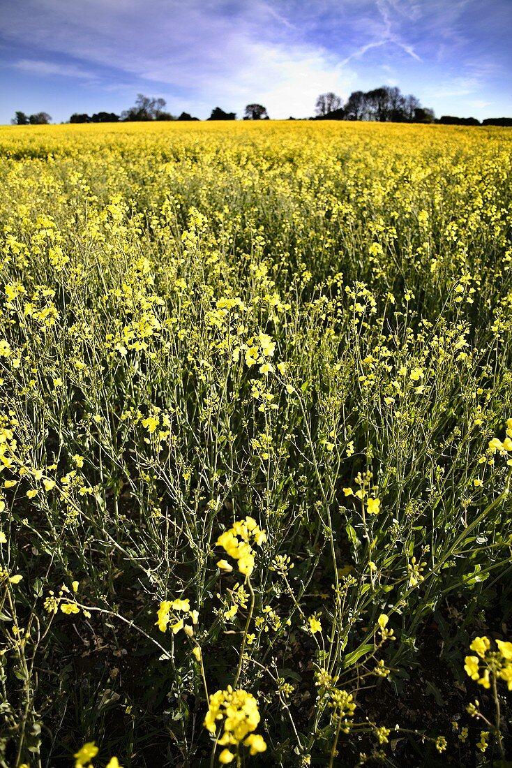 A field of flowering oilseed rape
