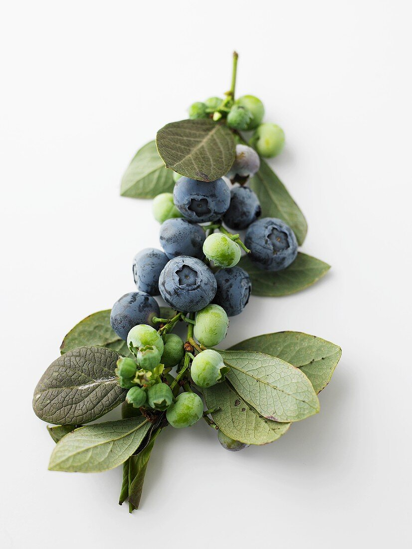 Blueberries on a branch