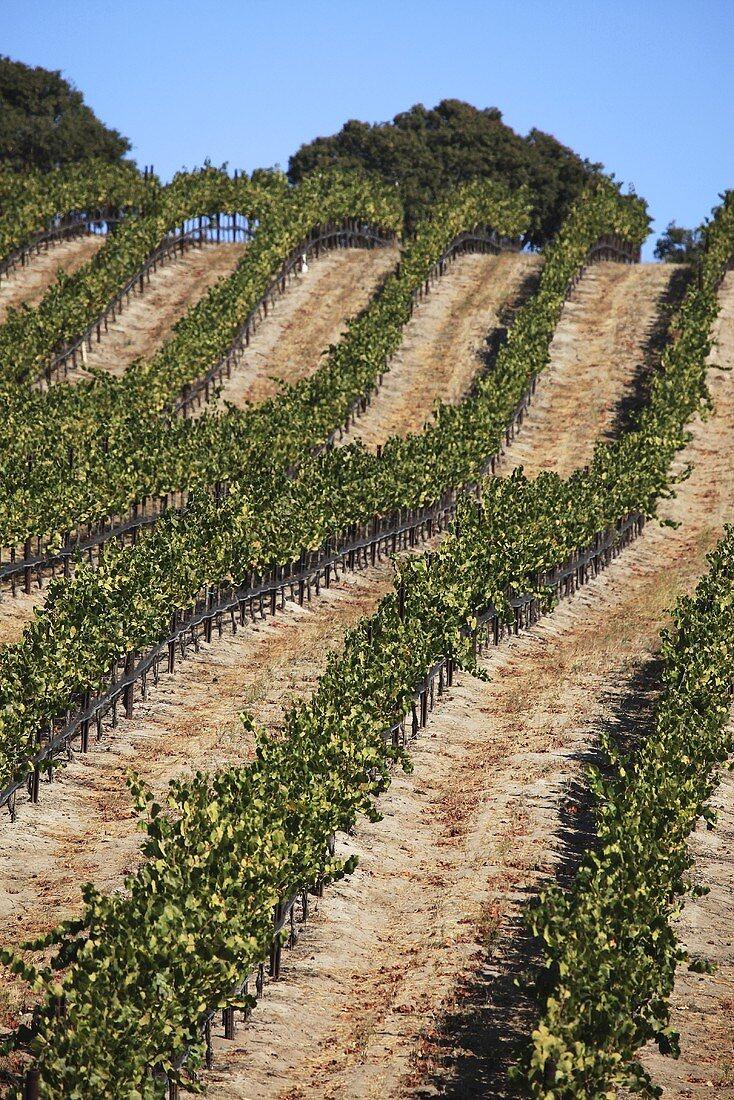 Vineyard, Central Coast, California, USA