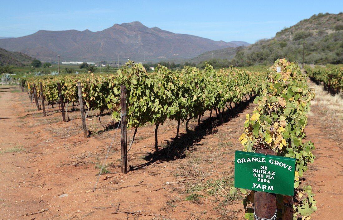 A Shiraz vineyard in Orange Grove, near Robertson, West Cape Province, South Africa