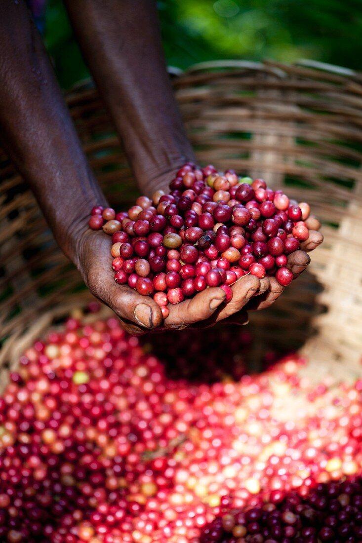 Hands holding freshly harvested coffee beans (Sri Lanka)
