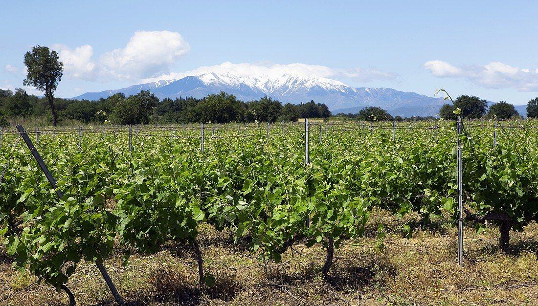 A vineyard outside Collioure, France