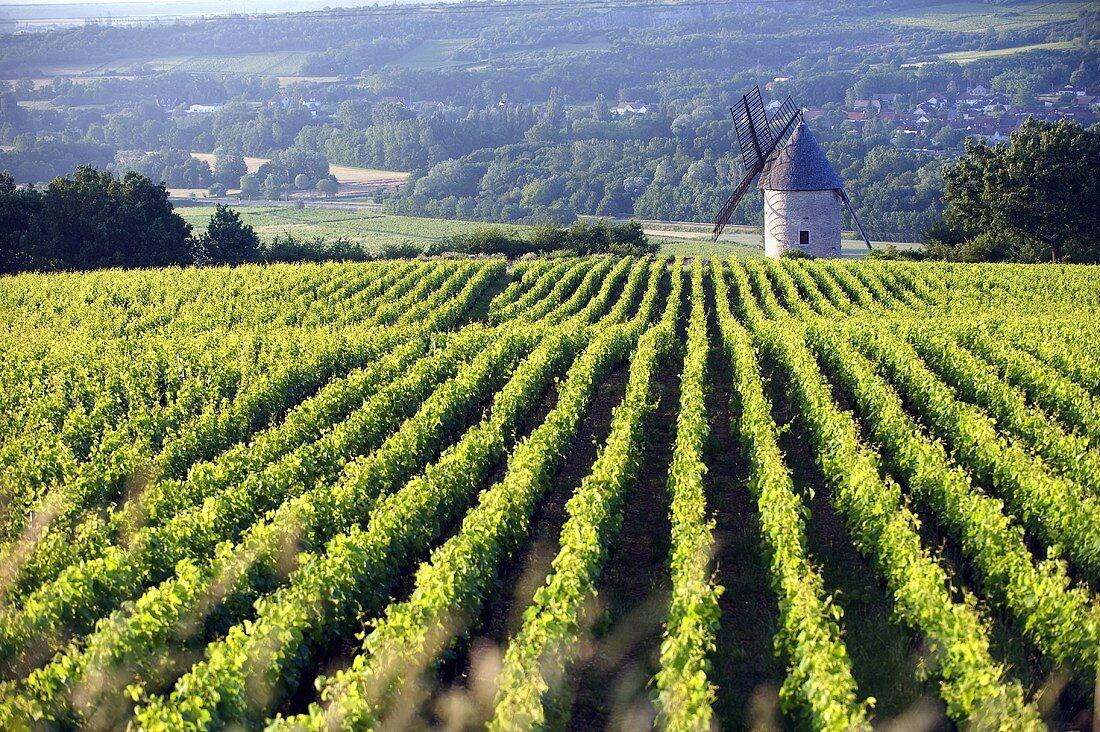 Santenay, vineyard above the old mill, Burgundy, France