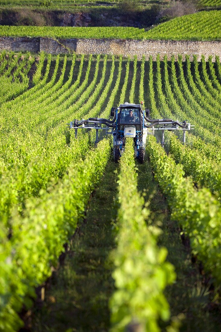 A tractor fertilizing the vines at Chassagne-Montrachet, Burgundy, France