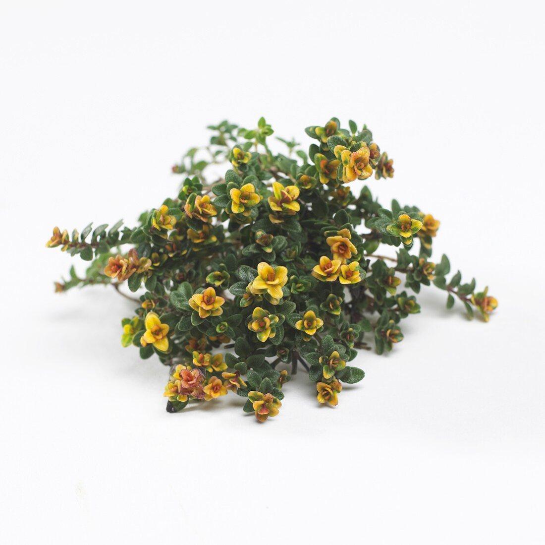Thyme 'Doone Valley' (Thymus x citriodorus)