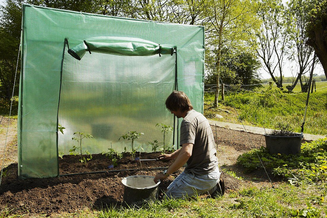 Man planting tomatoes in a tomato greenhouse