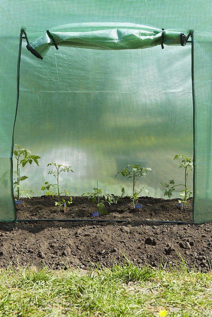 Tomato plants in a tomato greenhouse