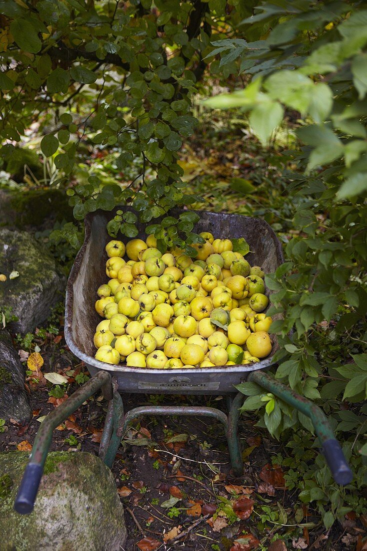 Wheel barrow with freshly picked quinces