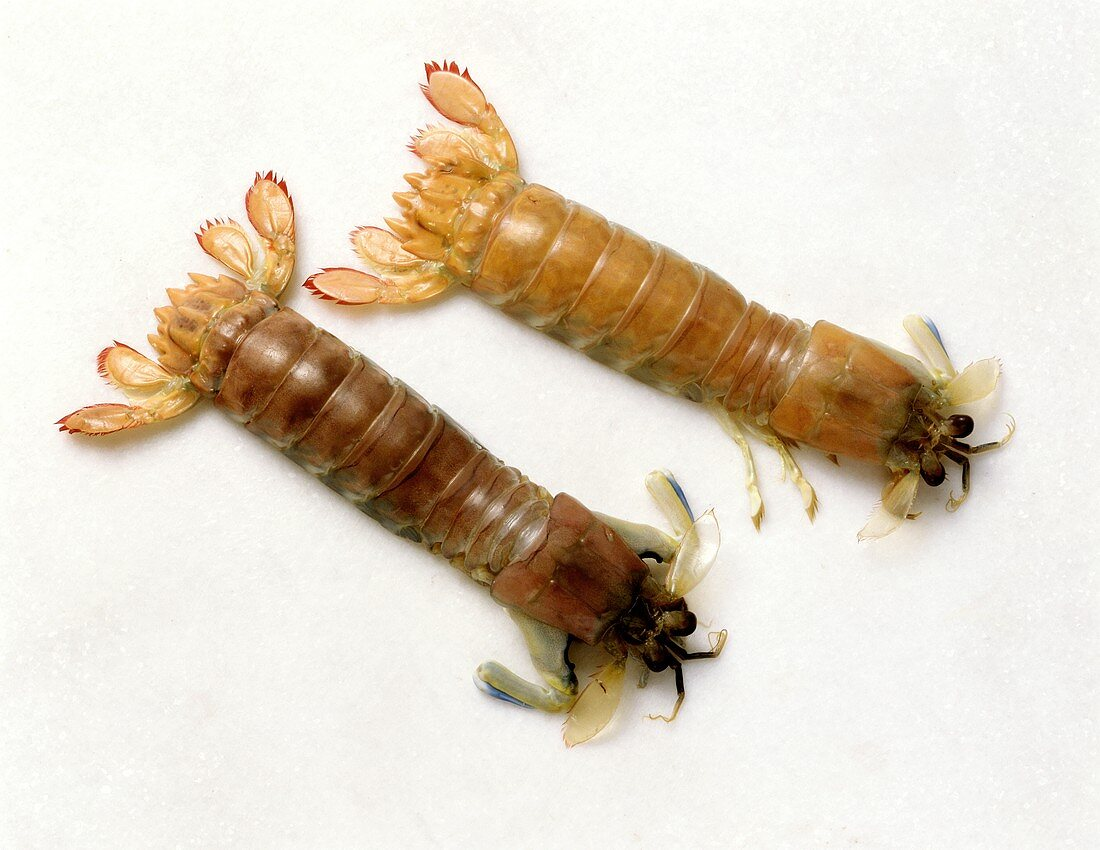 Mantis shrimps from South East Asia