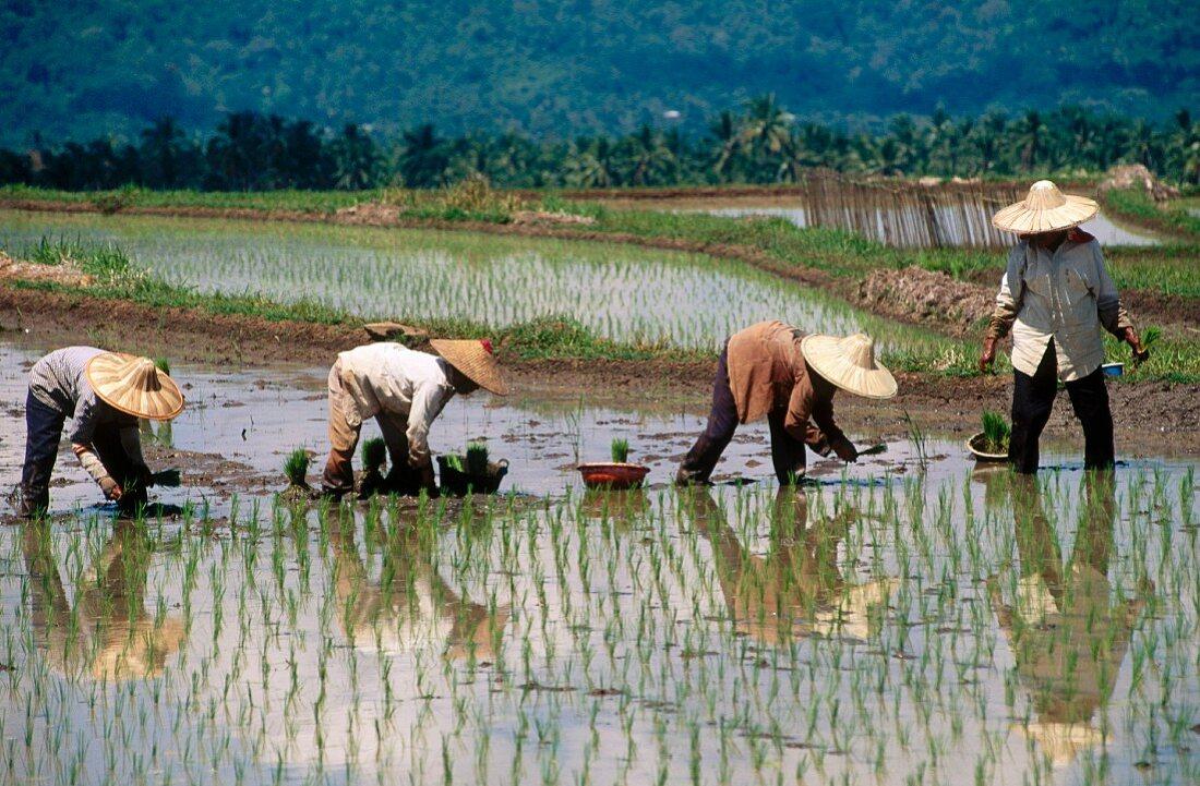 Rice field, Minangkabau area, Sumatra, Indonesia