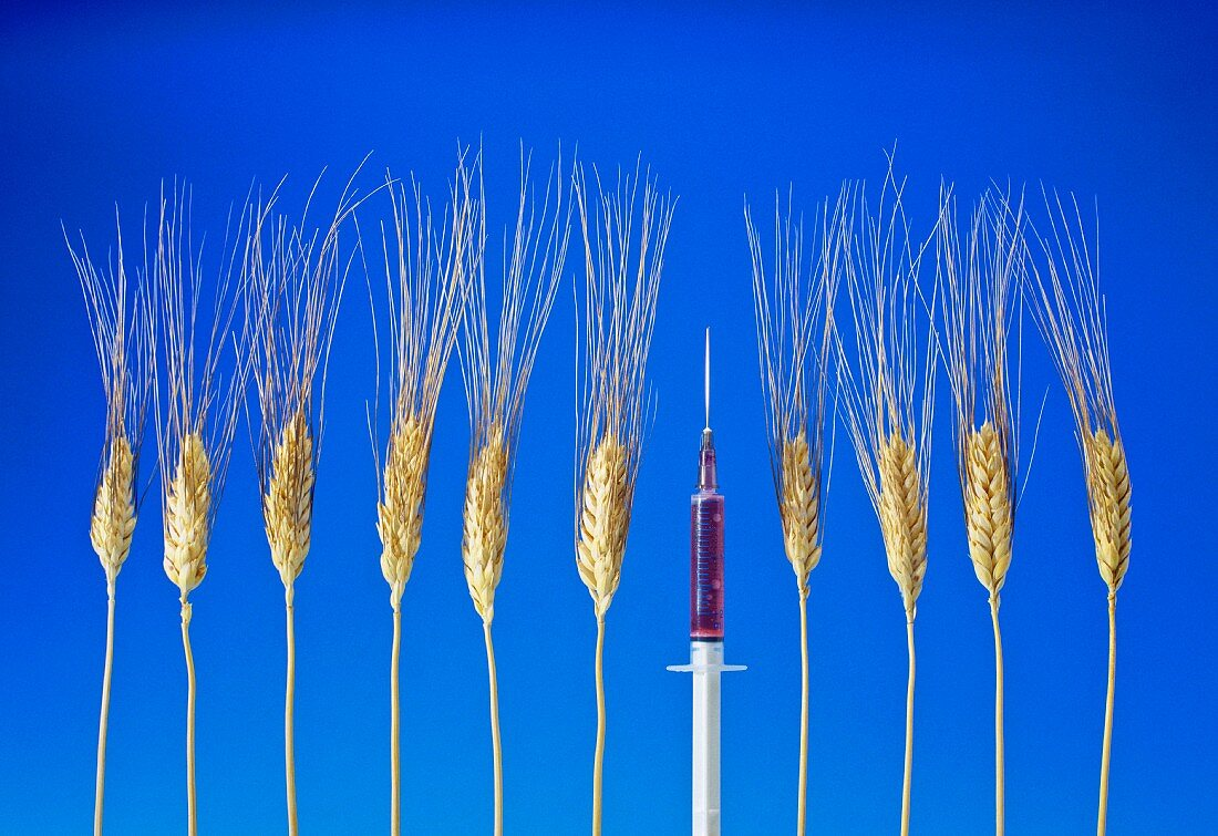Genetic engineering: cereal ears with a syringe