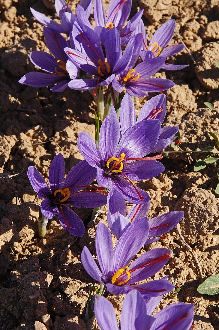 Saffron crocuses, Villafranca de los Caballeros, Toledo, Castilla-La Mancha, Spain
