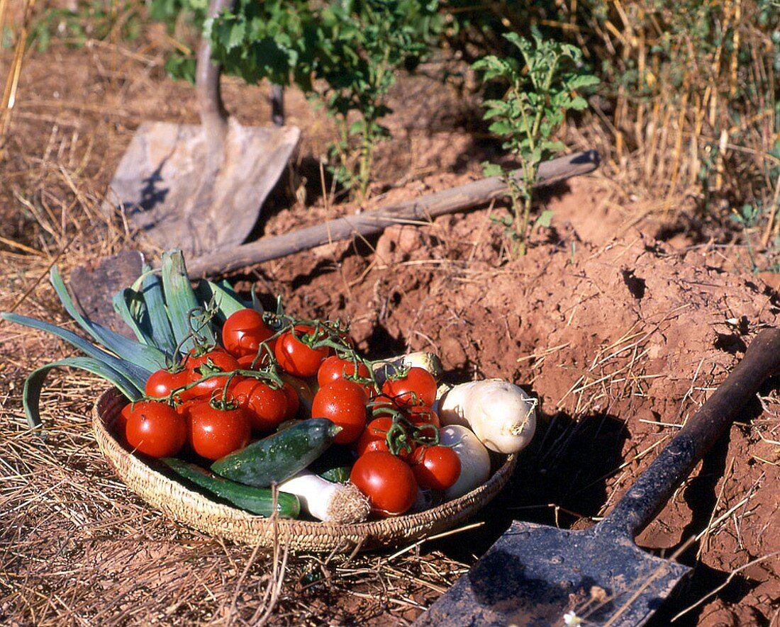 Tomatoes and leeks in a basket on the field