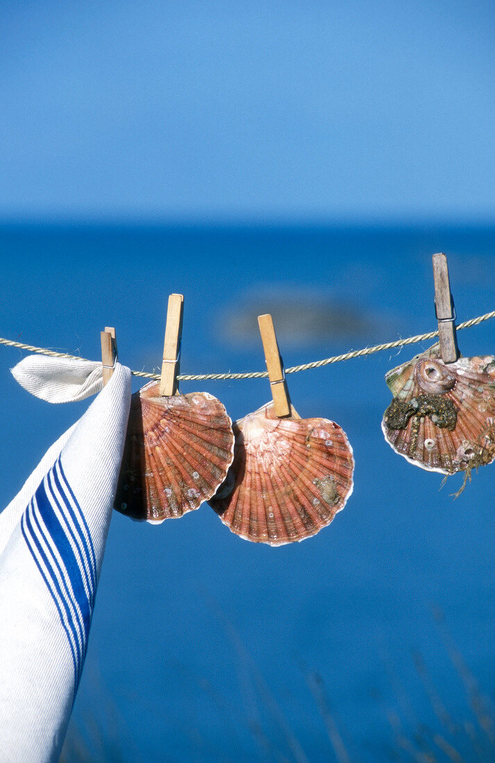St Jacques scallops on washing line with pegs