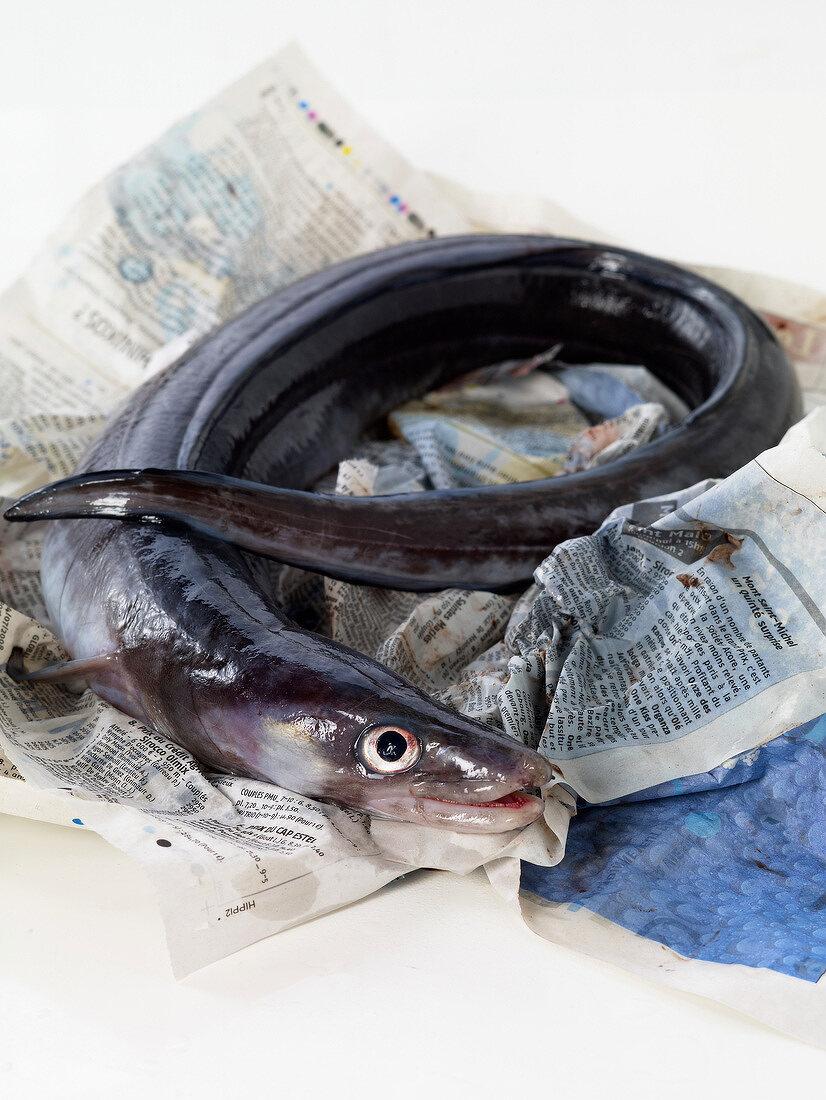 Raw conger eel