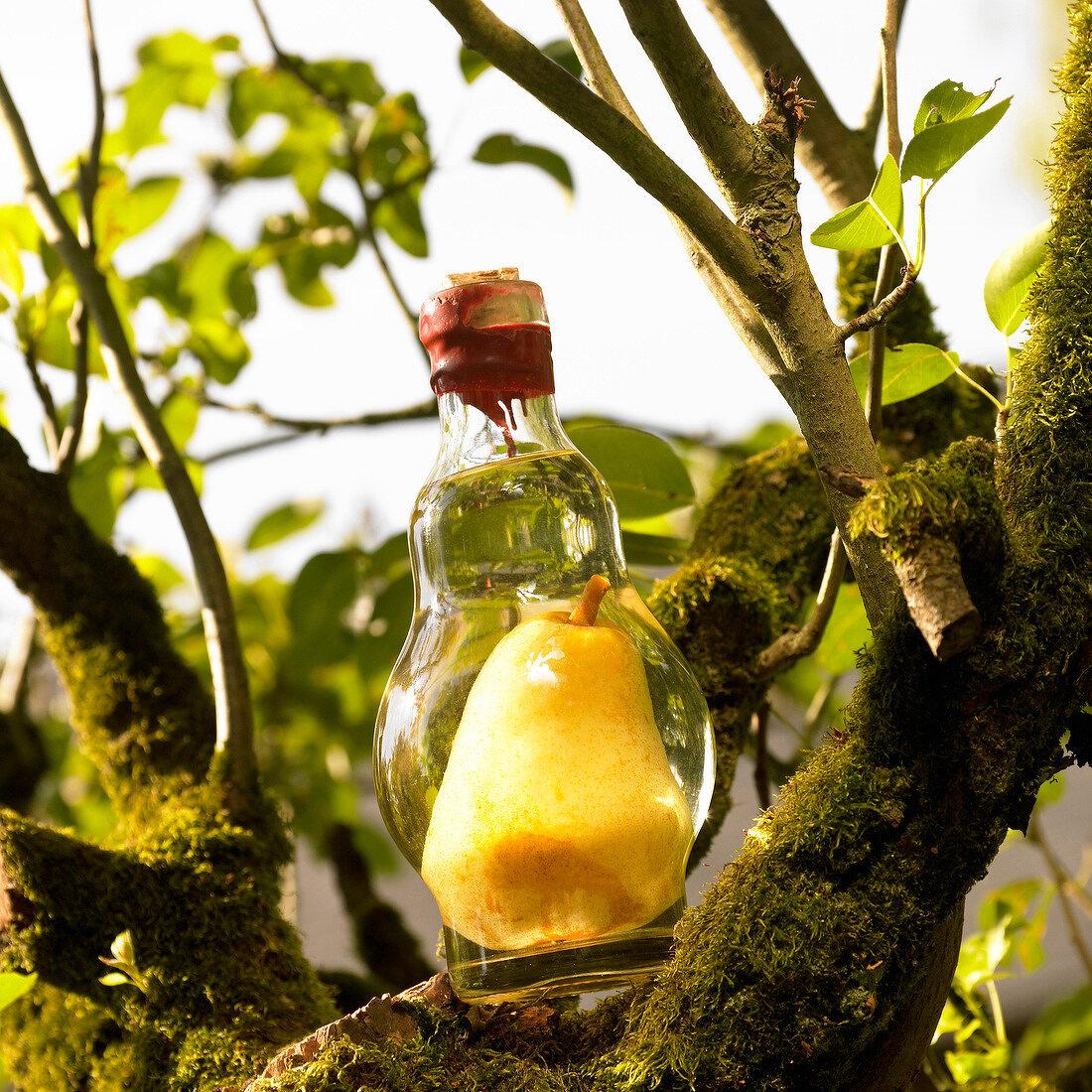Bottle of pear Eau-de-vie in a tree