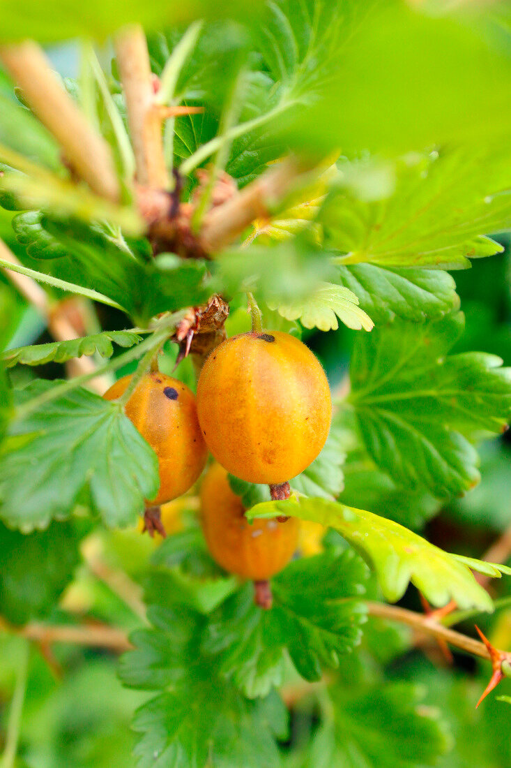 Gooseberries on the plant