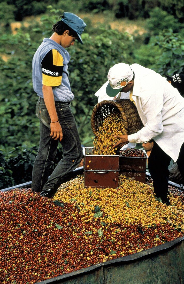 Workers Measuring Coffee Beans