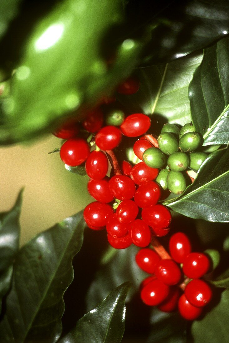Arabica Beans at the Branch