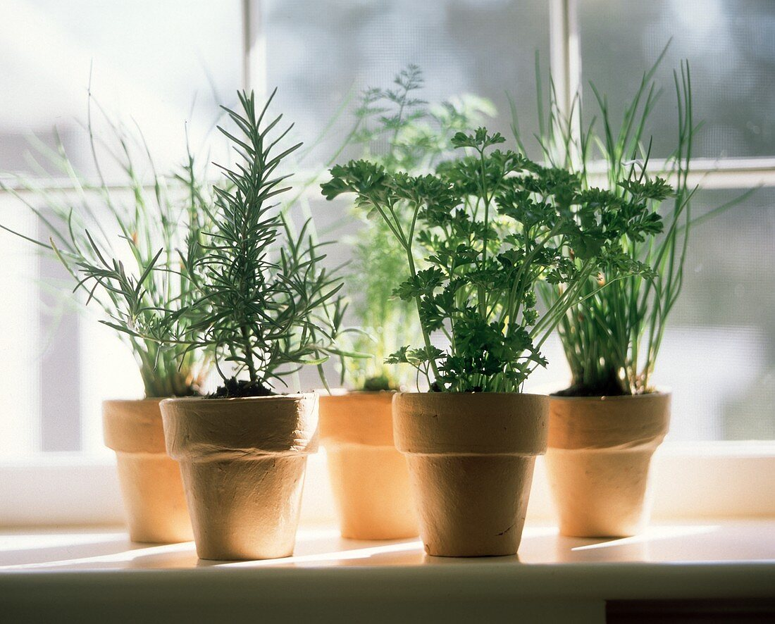 Assorted Herbs Growing in Clay Pots; Window Sill