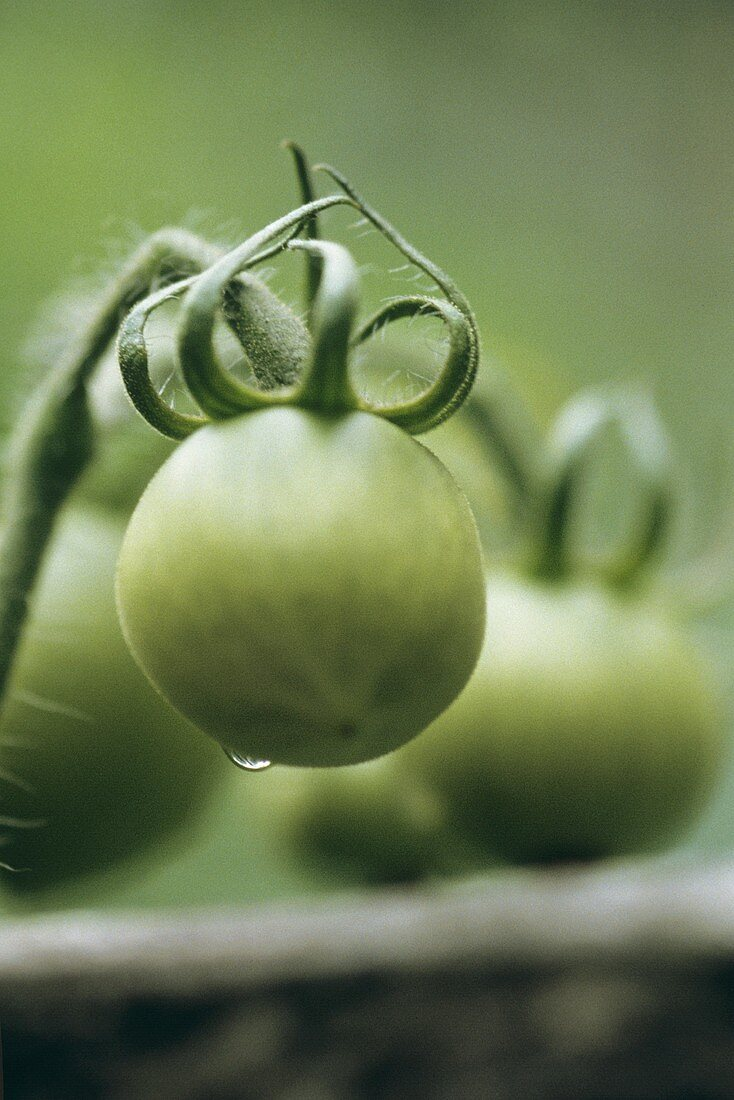 Green Tomatoes Growing on the Vine