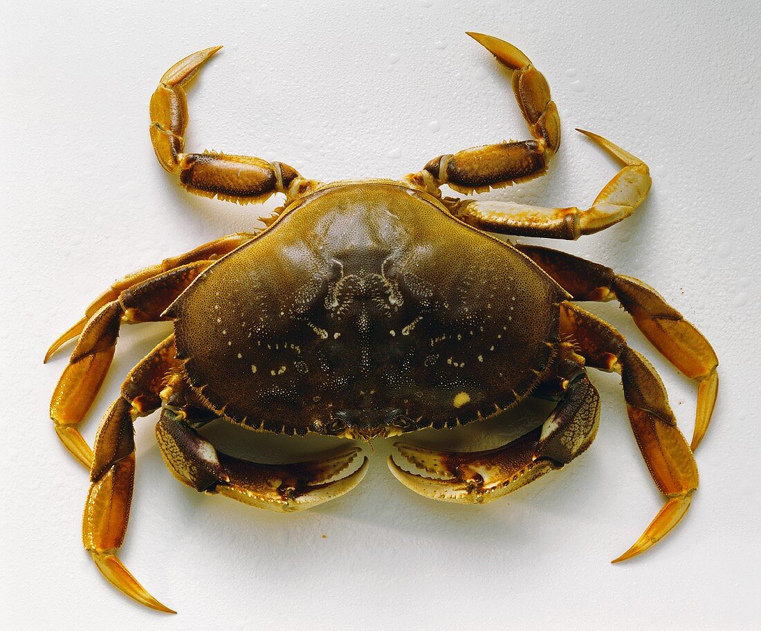 A Single Dungeness Crab