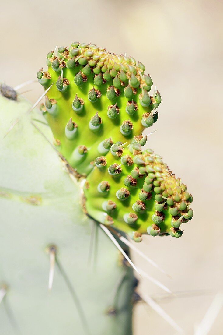Prickly pear (Opuntia) with young prickly pears