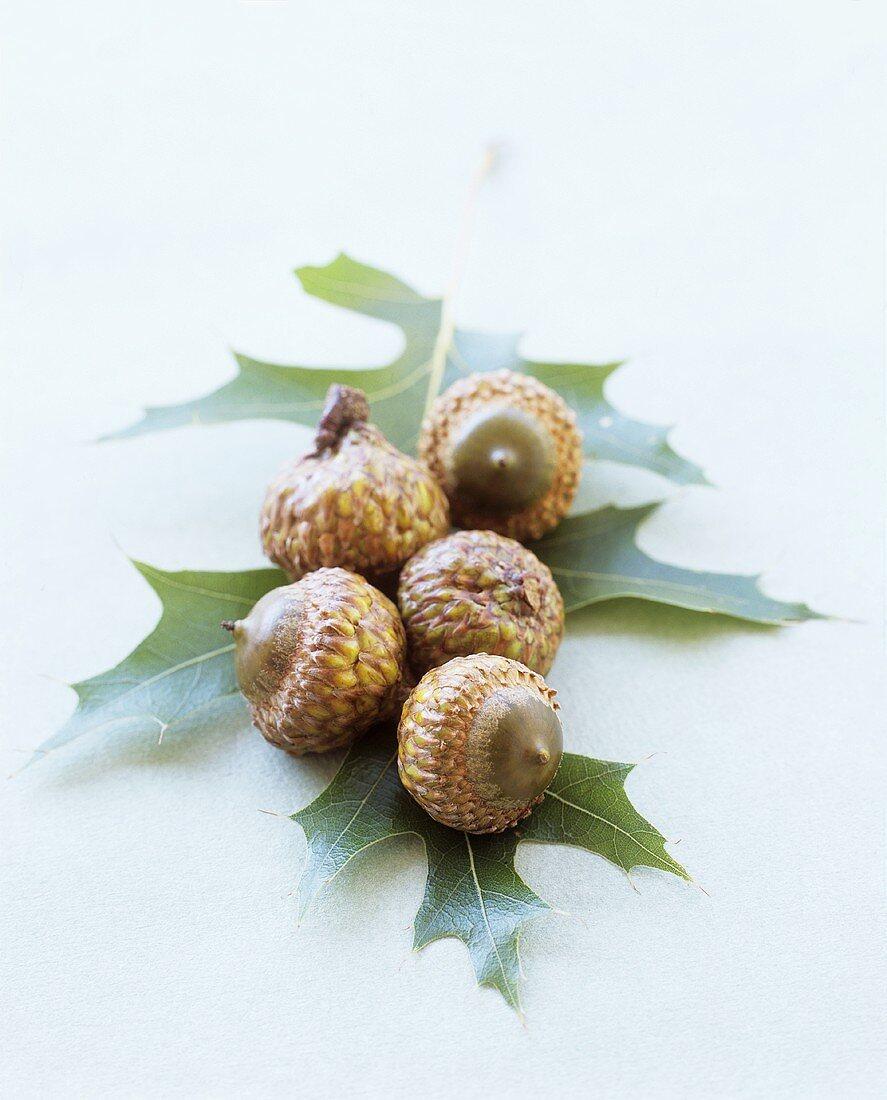 Acorns on oak leaf