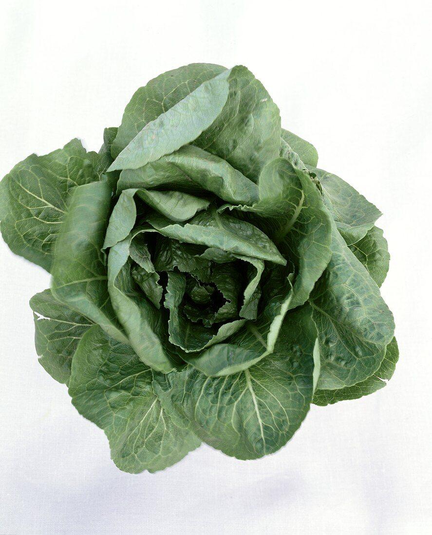 New lettuce variety: 'Romulus' (dark green Romaine lettuce)