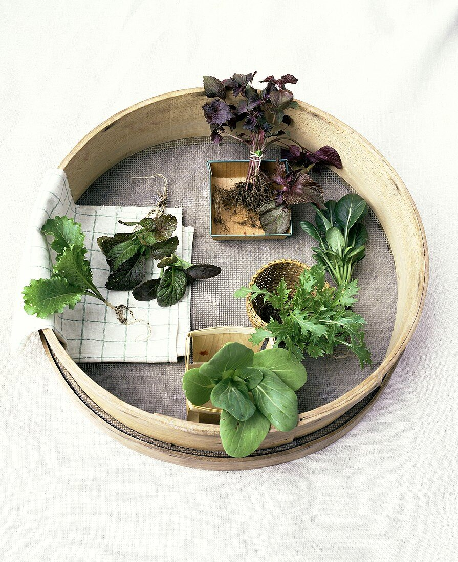 Various young lettuce plants in a strainer