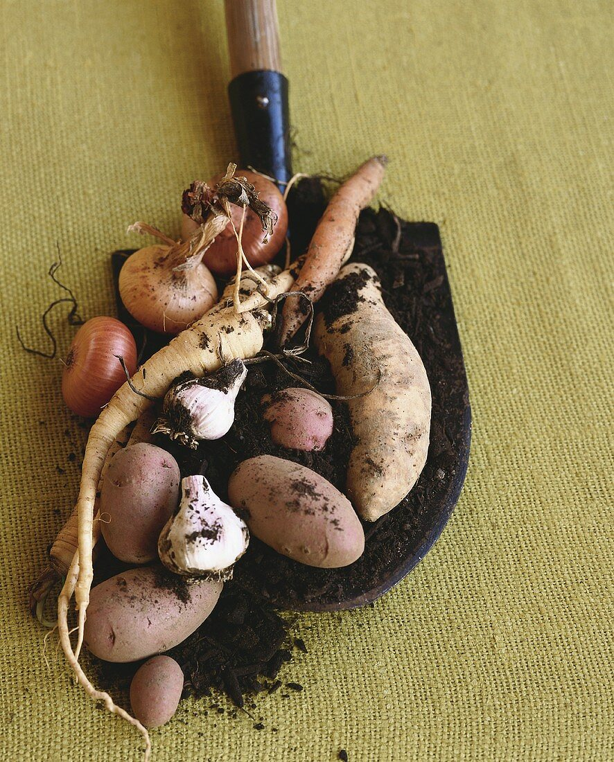 Root Vegetables on a Shovel with Dirt on a Burlap Background