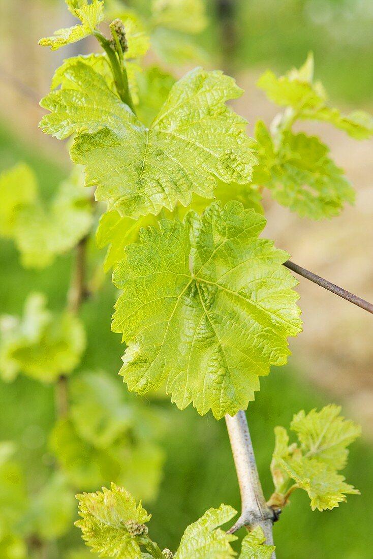 Vine leaves on the vine