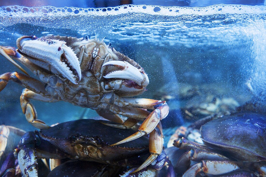 Fresh Crabs in a Tank