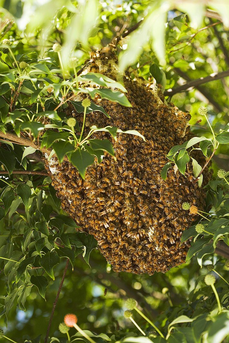 Bee Hive in a Tree