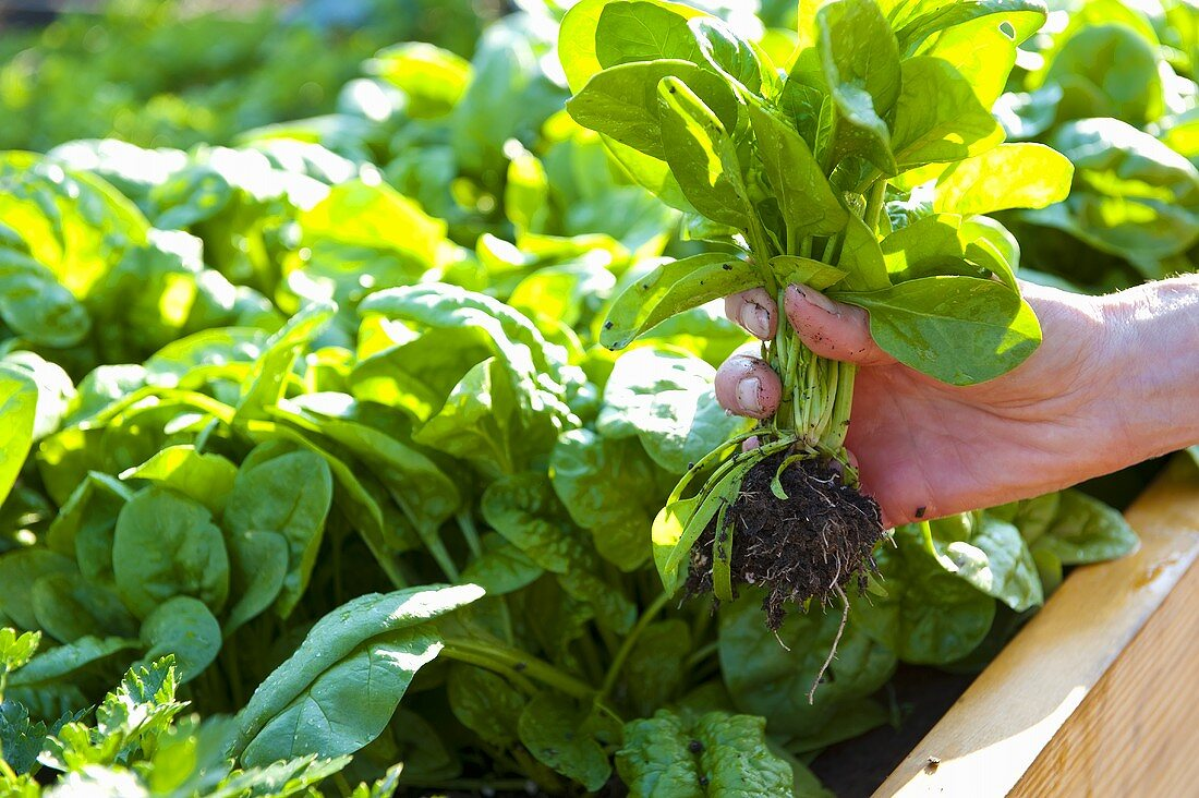 Person Picking Spinach from Garden