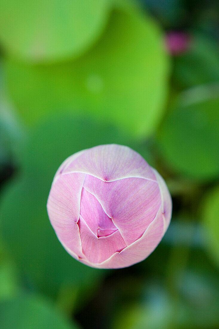 Close up of a closed lotus blossom, Khao Lak, Andaman Sea, Thailand